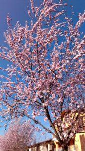 ミラノ 桜